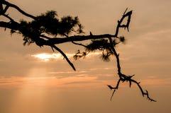 Ветви сосны Стоковая Фотография