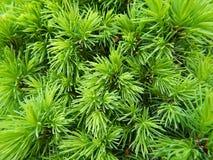 Ветви сосны Стоковые Фотографии RF