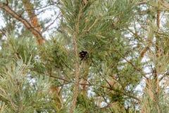 Ветви спруса в предыдущей весне Стоковые Фото