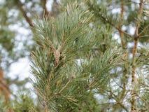 Ветви спруса в предыдущей весне Стоковые Изображения RF