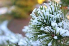 Ветви спруса или сосны в снеге Стоковые Изображения