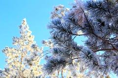 ветви спруса и сосны покрыты с снегом на яркий солнечный день стоковые изображения