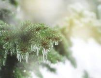 Ветви спруса покрытые с дождем льда Стоковые Изображения