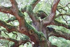 Ветви старого дуба Стоковое Фото