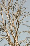 Ветви сухого дерева против неба летом стоковое изображение rf