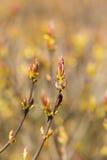 Ветви с бутонами весны Стоковые Фотографии RF
