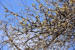 Ветви с бутонами на предпосылке неба Стоковая Фотография