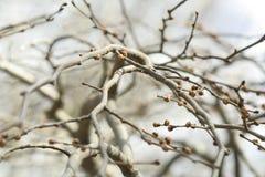 Ветви с бутонами Предпосылка Sring Стоковая Фотография RF