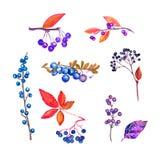 Ветви с голубыми ягодами осени и листьями, сине-пурпурными цветами собранием, листьями и ягодами, изолированными на белизне иллюстрация вектора