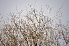 Ветви с желтыми бутонами Стоковая Фотография RF