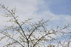 Ветви с желтыми бутонами Стоковое Изображение