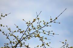 Ветви с желтыми бутонами Стоковое Изображение RF