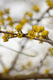 Ветви с желтыми бутонами Стоковые Изображения