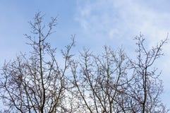 Ветви с желтыми бутонами Стоковые Изображения RF