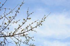 Ветви с желтыми бутонами Стоковые Фотографии RF
