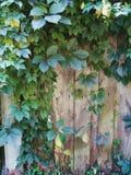 ветви с зелеными листьями одичалых виноградин заплели деревянную загородку Стоковые Фото