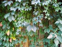 ветви с зелеными листьями одичалых виноградин заплели деревянную загородку Стоковая Фотография RF