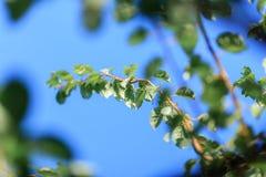 Ветви с зелеными листьями против голубого неба, будить природы Стоковое Фото