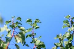 Ветви с зелеными листьями против голубого неба, будить природы Стоковая Фотография