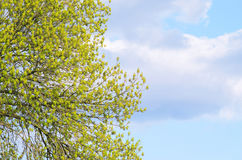 Ветви с зелеными листьями против голубого неба Стоковое Изображение RF