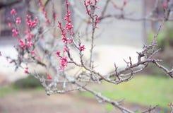 Ветви сливы вишни с бутонами цветка Стоковая Фотография