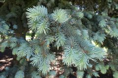 Ветви с иглами сизоватого зеленого цвета спруса стоковые фотографии rf
