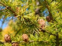 Ветви с конусами от larchtree стоковые фото