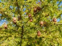 Ветви с конусами от larchtree стоковое изображение rf