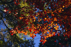 Ветви с красными кленовыми листами против голубого неба Стоковые Изображения RF