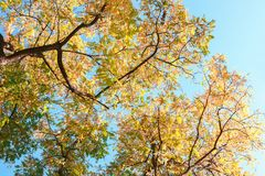 Ветви с красочными листьями осени против голубого неба взгляд угла низкого уровня черной саранчи тонизированное изображение Стоковая Фотография RF