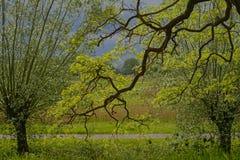 Ветви с листьями весны дуба в парке th стоковые фотографии rf