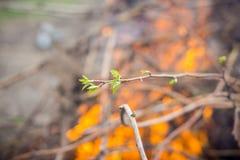 Ветви с новыми зелеными листьями горят в огне Стоковое Изображение RF
