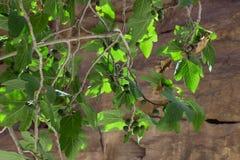 Ветви с плодоовощами зеленых смокв Стоковое Фото