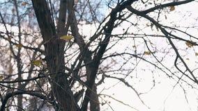 Ветви с редкими листьями пошатывают медленно в светлом ветре осени видеоматериал