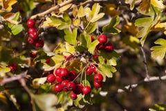 Ветви с ягодами боярышника в саде предпосылка с ветвями и ягодами боярышника стоковая фотография