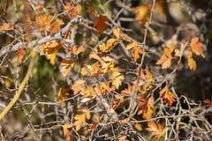 Ветви с ягодами боярышника в саде предпосылка с ветвями и ягодами боярышника стоковое фото rf