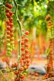 Ветви томата вишни томата вишни от сада Стоковое Изображение RF