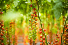 Ветви томата вишни томата вишни от сада Стоковая Фотография