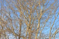 Ветви тополя без листьев Стоковая Фотография RF