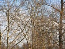 Ветви тополя без листьев Стоковое Изображение