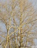 Ветви тополя без листьев Стоковые Фото