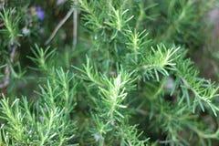 Ветви травы Розмари с концом-вверх листьев Варить пищевой ингредиент, сырцовые заводы flavoring стоковые изображения rf