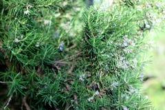Ветви травы Розмари с концом-вверх листьев Варить пищевой ингредиент, сырцовые заводы flavoring стоковое изображение