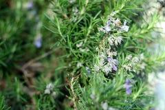 Ветви травы Розмари с концом-вверх листьев Варить пищевой ингредиент, сырцовые заводы flavoring стоковое фото rf