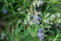Ветви травы Розмари с концом-вверх листьев Варить пищевой ингредиент, сырцовые заводы flavoring стоковые фотографии rf