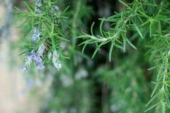 Ветви травы Розмари с концом-вверх листьев Варить пищевой ингредиент, сырцовые заводы flavoring стоковые изображения