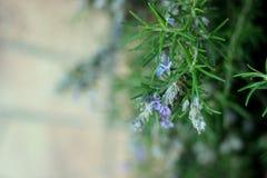 Ветви травы Розмари с концом-вверх листьев Варить пищевой ингредиент, сырцовые заводы flavoring стоковая фотография rf