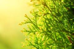 Ветви туи съемки макроса в солнечном свете Стоковое фото RF