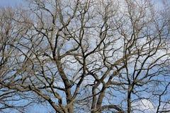 Ветви дуба без листьев Стоковая Фотография