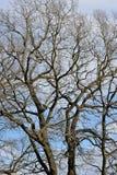 Ветви дуба без листьев Стоковое Изображение